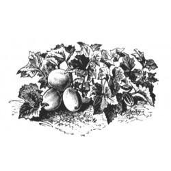 Northern pickling