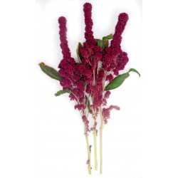 Elephant head Amaranth