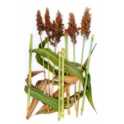 Honey drip Sorghum