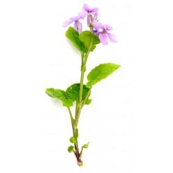 Violet cress