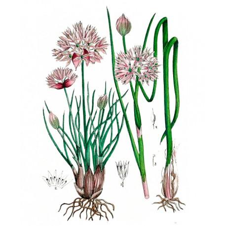 fijn bieslook  Allium schoenoprasum