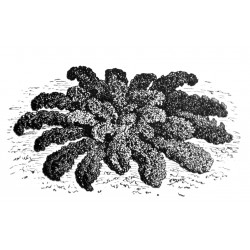 dwerg boerenkool