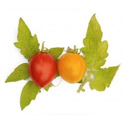 Tigerette-tomaat