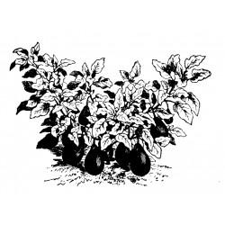 Morden Midget aubergine