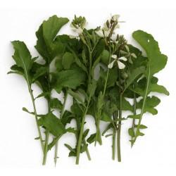rucola cultivata