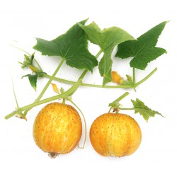 citroenkomkommer