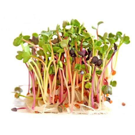radijs micro-groente